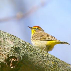 up high by Bill Redmond - Animals Birds ( bird, nature, colorful, animal )