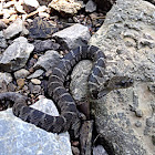 Northern water snake juvenile