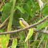 benteveo mediano - social flycatcher