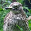 Eurasian Stone-curlew,Alcaravão