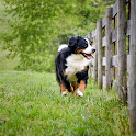 Bernese Mountain Dogs logo