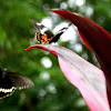 Common Mormon Butterfly Courtship