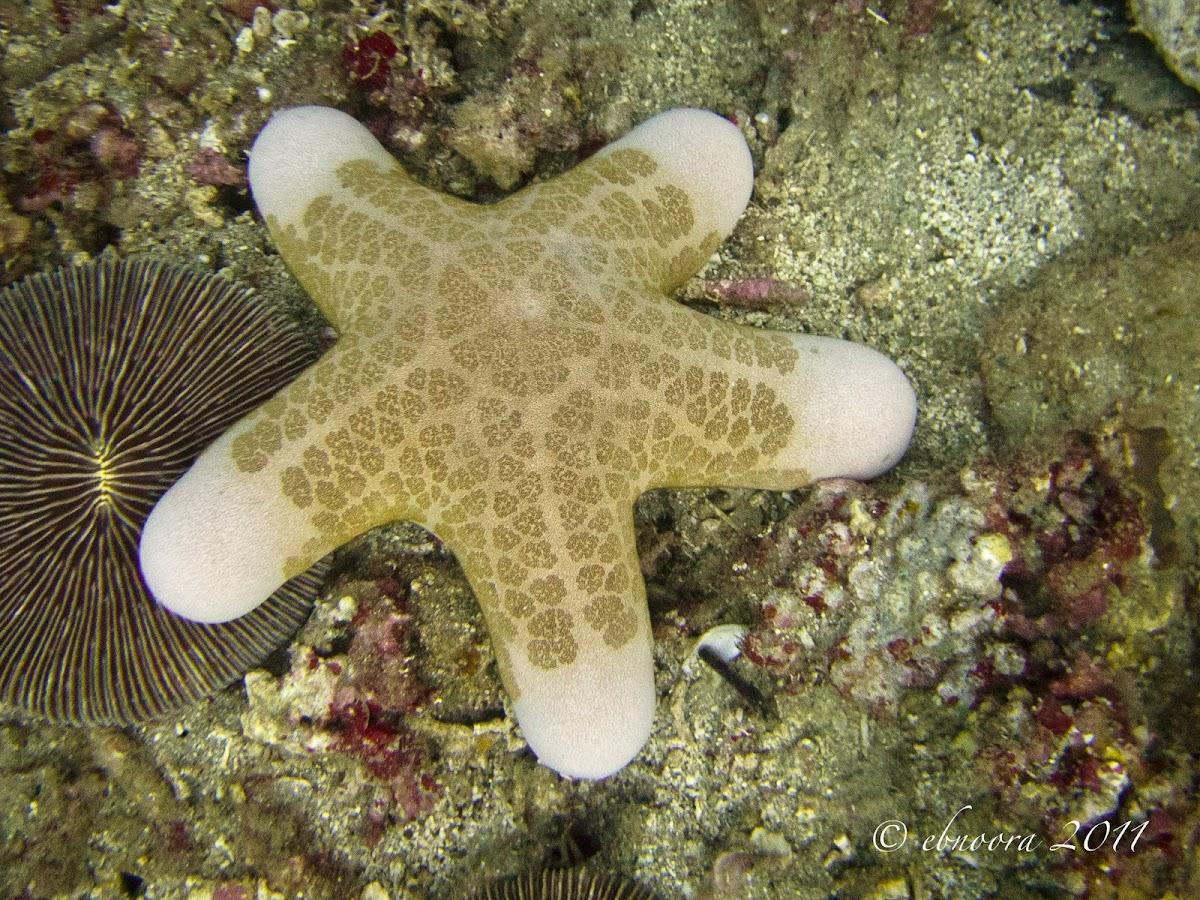 Granulated Sea Star, Doughboy Star