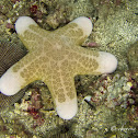 Granulated Sea Star, Doughboy Star