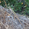 Italian wall lizard - lucertola italiana