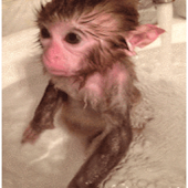 monkey showering LIVE WALLPAPE