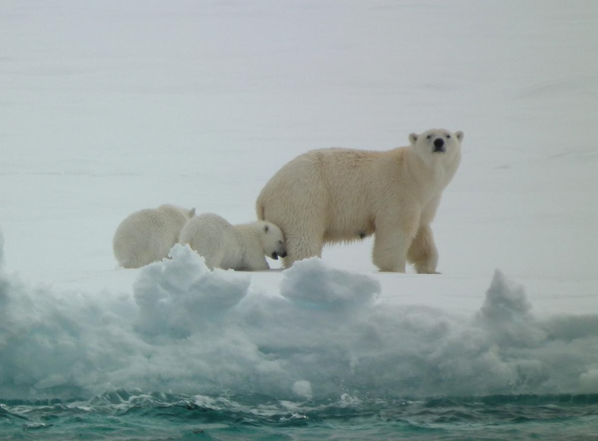 Polar Bear (mother and cubs)