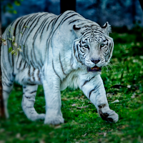 White Tiger walking by Cristobal Garciaferro Rubio - Animals Lions, Tigers & Big Cats ( walking, tiger, night shot, white tige )