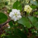 Divine jasmine