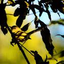 borboletinha-do-mato