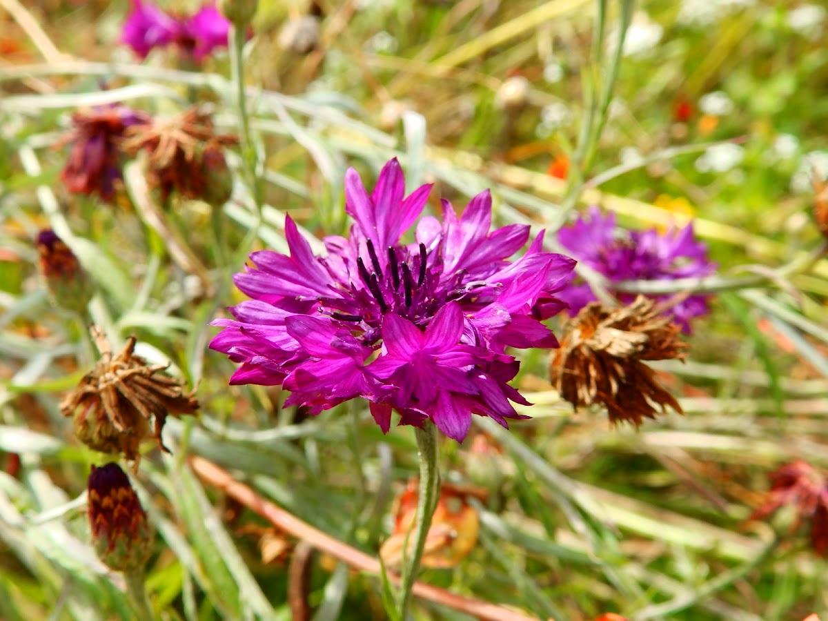 Cornflower (purple variety)
