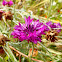 Cornflower (purple variety)