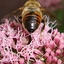 Syrphid Fly, Family Syrphidae
