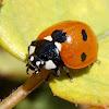 Seven-spot ladybird. Mariquita de siete puntos