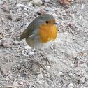 Robin (Pisco-de-peito-ruivo)