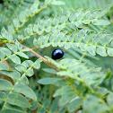 metallic blue ladybug