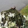 Common earwig