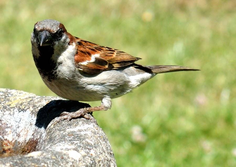 sparrow by Ken Harkett - Novices Only Wildlife (  )