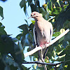 White- winged Dove