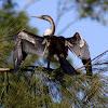 Australian Darter - Snakebird