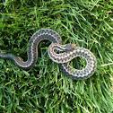 Western Terresterrial Garter Snake