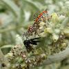 Banded Assassin Bug feeding on  a Bibionid Fly
