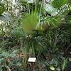 Barbados Fan Palm