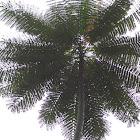 Brazilian Firetree