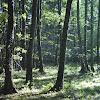 Black Alder woods