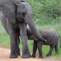 Baby elephant(s)