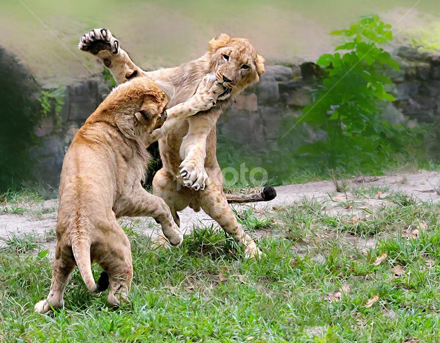 Wrestlemainia 32 by John Larson - Animals Lions, Tigers & Big Cats (  )
