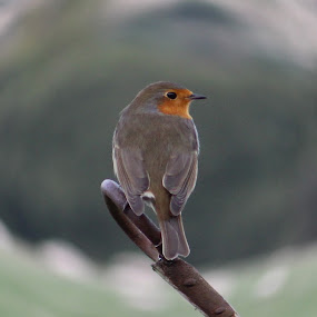 Autumn Robin by Michael Tall - Animals Birds