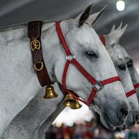 3 Mares Spanish Race by Cristobal Garciaferro Rubio - Animals Horses ( spanish, female, race, hores )