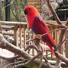 Eclectus Parrot