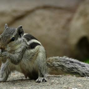 Squirle  by Pratik Raibagkar - Animals Other ( squirle, camera, nikon, p500, photo, photography, animal,  )