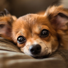 Lounging by Brent Dreyer - Animals - Dogs Portraits ( pet portrait, dogs, pets, lazy, mutt,  )