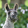 alpaca (domesticated)