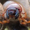 Beetle Larvaes