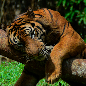 by Neni Wijaya - Uncategorized All Uncategorized ( tiger, margasatwa, jakarta, animal )