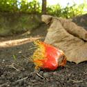 Oil palm fruit eaten by bats