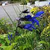 Blue-Black Salvia