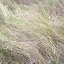Marsh hay cordgrass