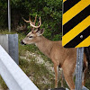 white tail deer(possibly key subsp)