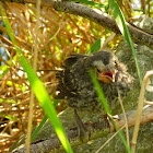 Red-winged blackbird (chick)