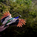 Indean Peafowl