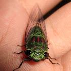 Shiny Cicada