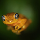 Blue-eyed Bush Frog