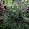 Old Man's Beard foliose lichen
