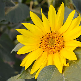 sunflower by Rux Georgescu - Flowers Single Flower ( single sunflower, sunflower,  )