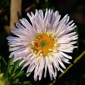 Chrysanthemum by Saptarshi Datta - Flowers Single Flower ( white flower winter garden )